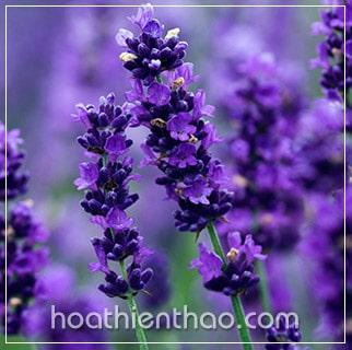 Chữa da cháy nắng với tinh dầu lavender