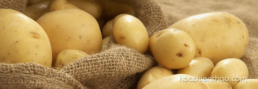 Sử dụng khoai tây trị thâm vùng kín hiệu quả